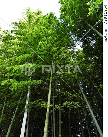 破竹は中国原産の竹で筍が美味しい。竹林は涼しげで風が渡る音もいい。 33911804