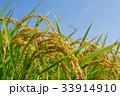 稲穂 秋 稲の写真 33914910