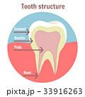 歯 構造 構造物のイラスト 33916263