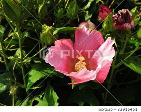 芙蓉の花言葉はしとやかな恋人、まさにその通りの品のある美しさが光る。 33916461