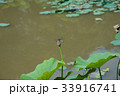 蓮の蕾とトンボ 33916741