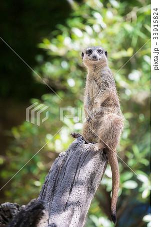 meerkat 33916824