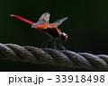 ロープにとまる赤トンボ 33918498