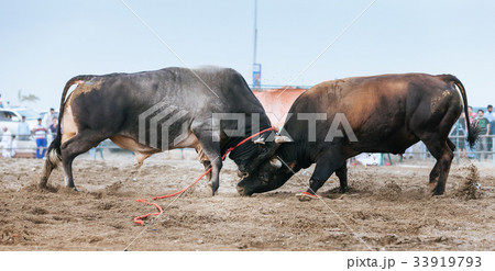 Bull fighting in Fujairah 33919793
