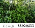 シダ 森林 林の写真 33920833