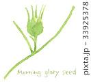 朝顔 植物 実のイラスト 33925378