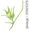 朝顔 植物 実のイラスト 33925379