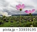 花 コスモス フラワーの写真 33939195