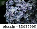 紫陽花 Hydrangea 33939995