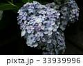 紫陽花 Hydrangea 33939996
