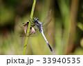 昆虫 トンボ目 トンボ科の写真 33940535