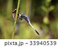 昆虫 トンボ目 トンボ科の写真 33940539