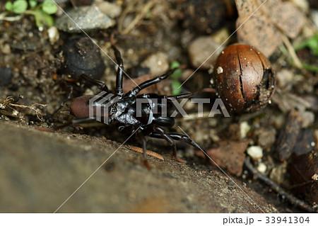 生き物 蜘蛛 ジグモ、三、四年がかりで大人になりメスはその後数年、オスはその年限りの命だそうです 33941304