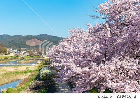 賀茂川の春 33941642