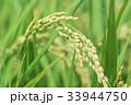 秋 田んぼ 稲の写真 33944750