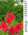 花 サンパラソル 美しいの写真 33945037