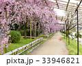 半木の道 - 枝垂れ桜 33946821