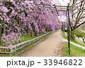 半木の道 - 枝垂れ桜 33946822