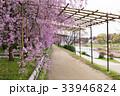 半木の道 - 枝垂れ桜 33946824