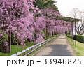 半木の道 - 枝垂れ桜 33946825