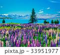テカポ湖 ルピナス 草原の写真 33951977