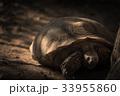 かめ カメ リクガメの写真 33955860