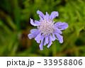 松虫草 花 植物の写真 33958806