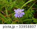 松虫草 花 植物の写真 33958807