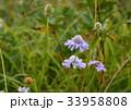 松虫草 花 植物の写真 33958808