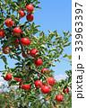 真っ赤に色づいたリンゴ 33963397