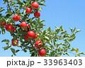 真っ赤に色づいたリンゴ 33963403