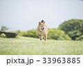草原の柴犬 33963885