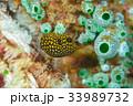 ミゾレフグ フグ 魚の写真 33989732