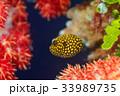 ミゾレフグ フグ 魚の写真 33989735