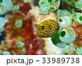 ミゾレフグ フグ 魚の写真 33989738