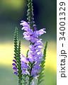 花 カクトラノオ ハナトラノオの写真 34001329