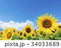 山梨県 明野 ひまわり 34033689