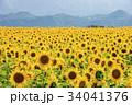山梨県 明野 ひまわり 34041376