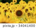 ひまわり 向日葵 夏の写真 34041400