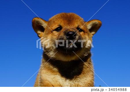 柴犬の赤ちゃん 34054988