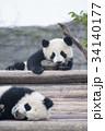 赤ちゃんパンダ 34140177