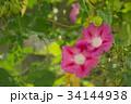 朝顔 花 植物の写真 34144938