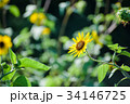 ルドベキア 花 キク科の写真 34146725