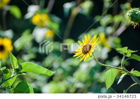 ルドベキアの花 34146725