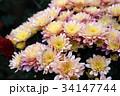 花 フラワー お花の写真 34147744