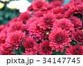 花 フラワー お花の写真 34147745