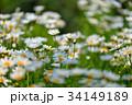 花 フラワー お花の写真 34149189