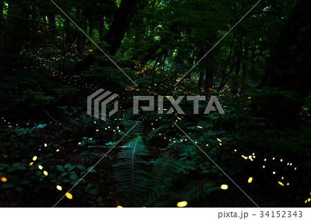 林の中で煌めく、ヒメ蛍 34152343