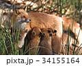 キタキツネ 狐 親子の写真 34155164
