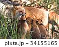 キタキツネ 狐 親子の写真 34155165
